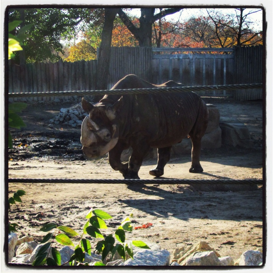 Black rhino at Lincoln Park Zoo