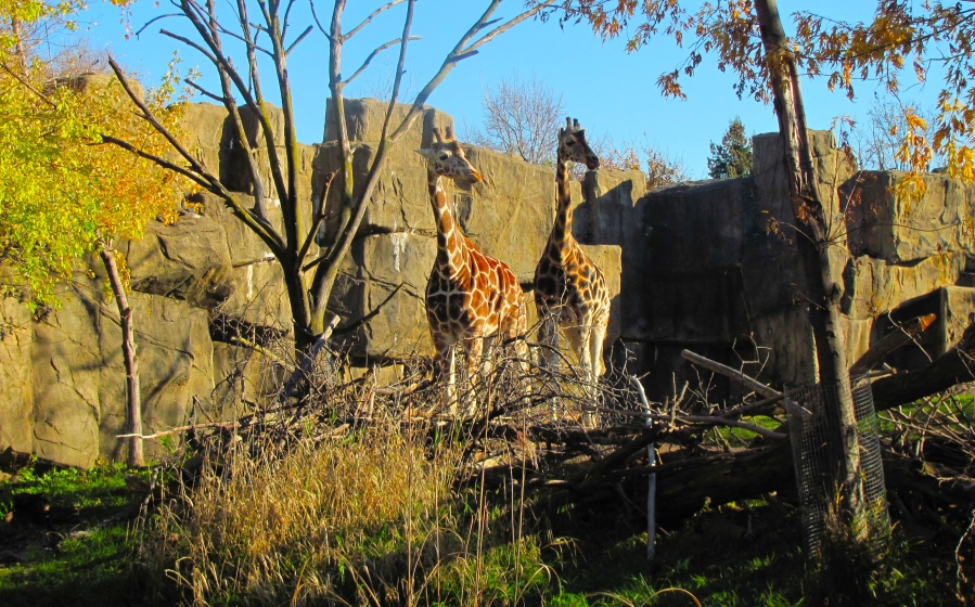 Giraffes at Lincoln Park Zoo