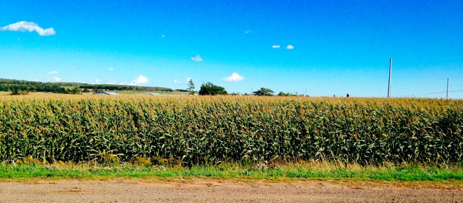 Corn fields at every turn. How awesome is that?